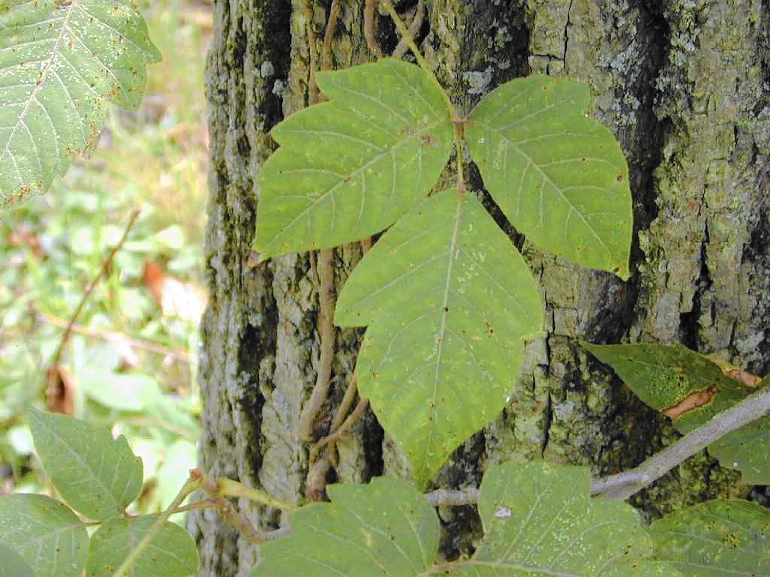 How To Remove Poison Ivy From Your Yard Safely Chicago