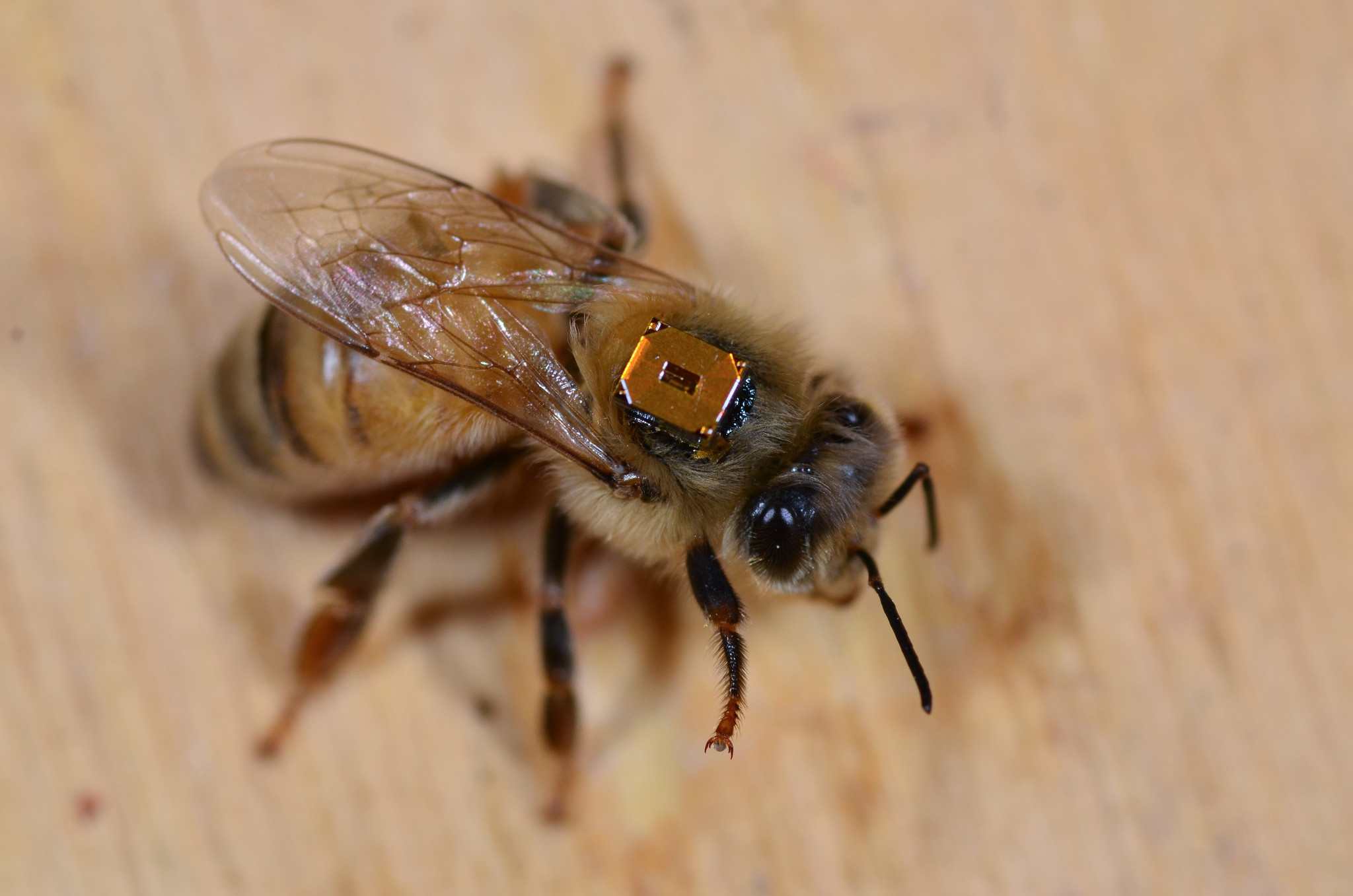 A honeybee worker has an RFID attached to its back that allows York University researchers to monitor when it leaves and returns to the colony, as well as when it no longer is active and presumed dead.