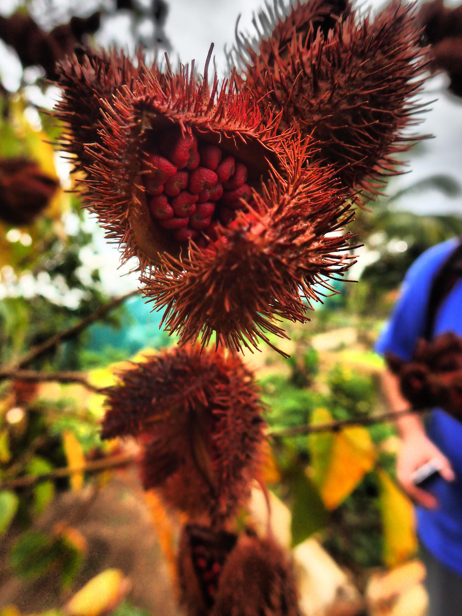 Among other exotic crops at the Finca Agroecologica El Paraiso in Vinales is achiote, a seed used to make the spice and natural food coloring additive annatto.