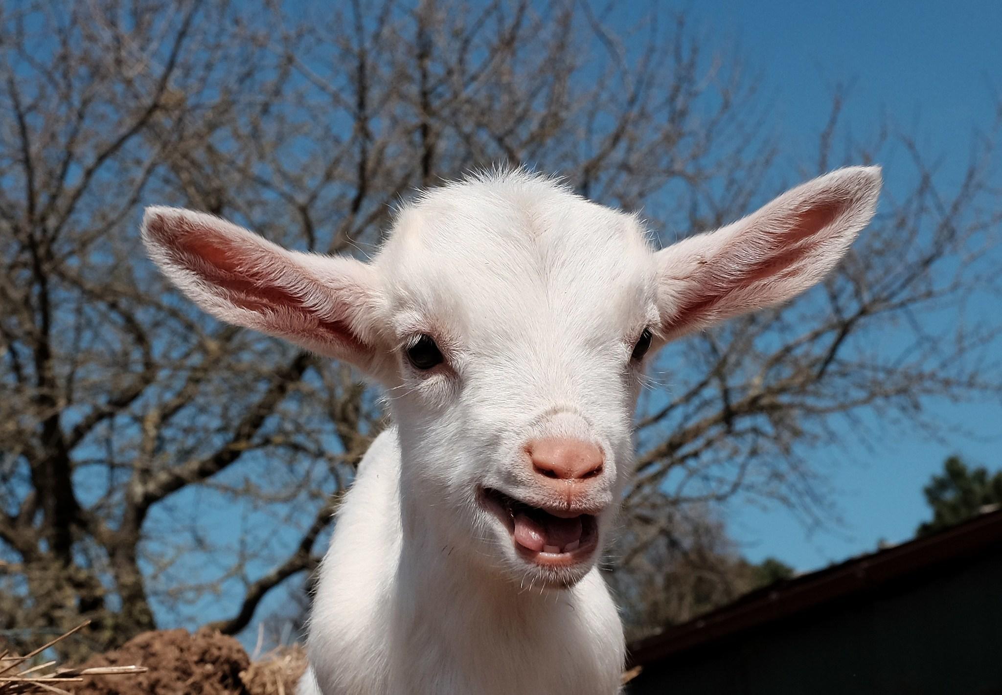 goat - photo #32
