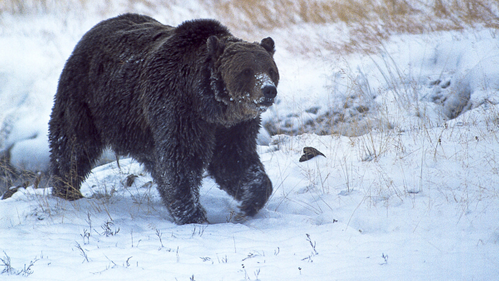 Now we know why beloved Yellowstone grizzly bear Scarface ...