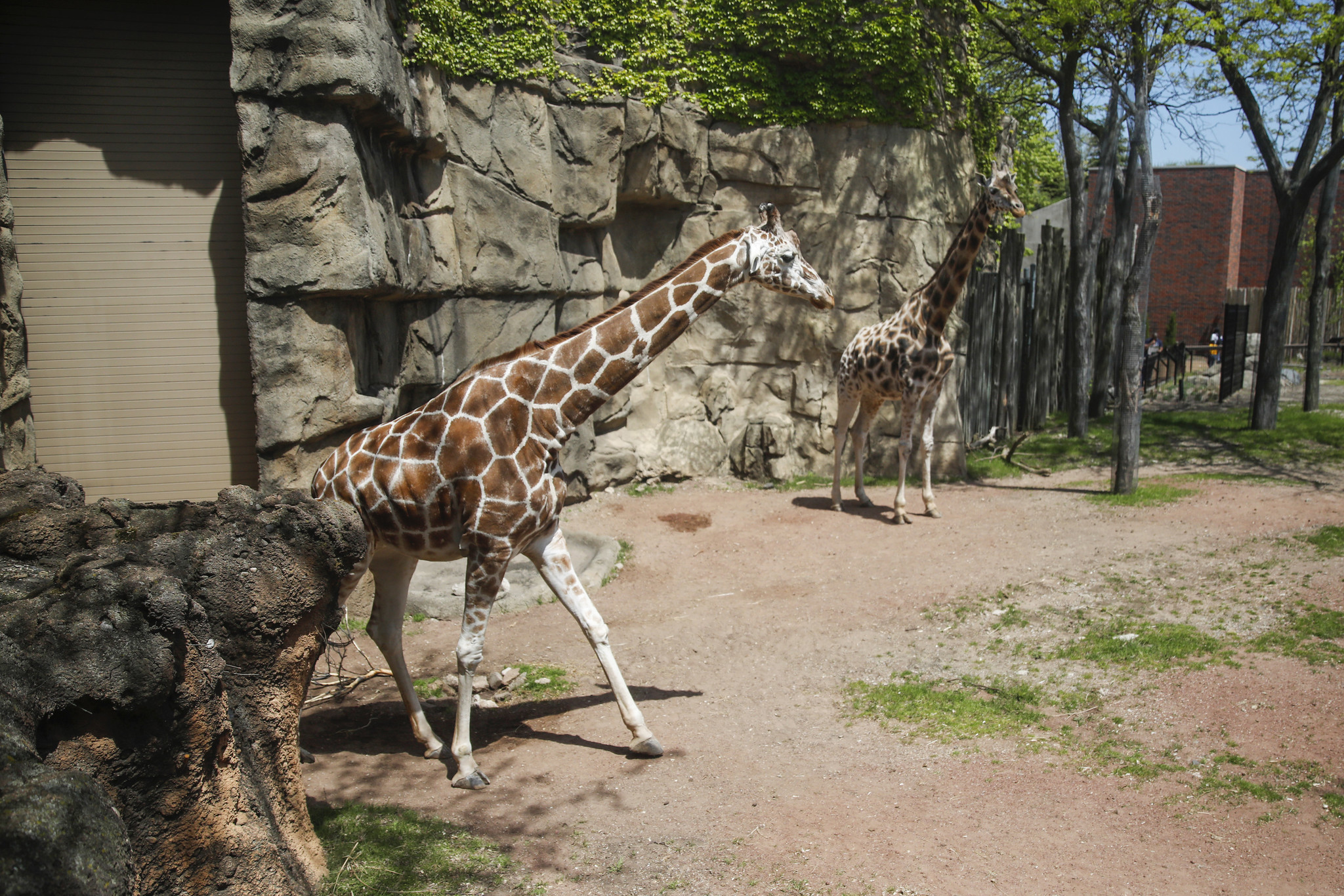 28 year old giraffe dies at lincoln park zoo chicago tribune