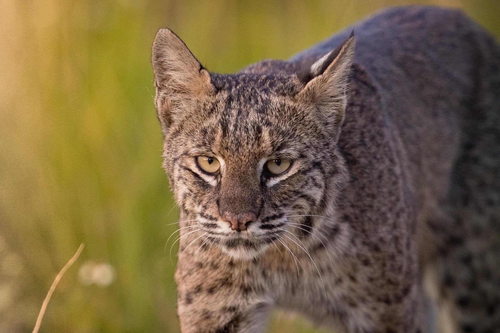 bobcat - photo #42