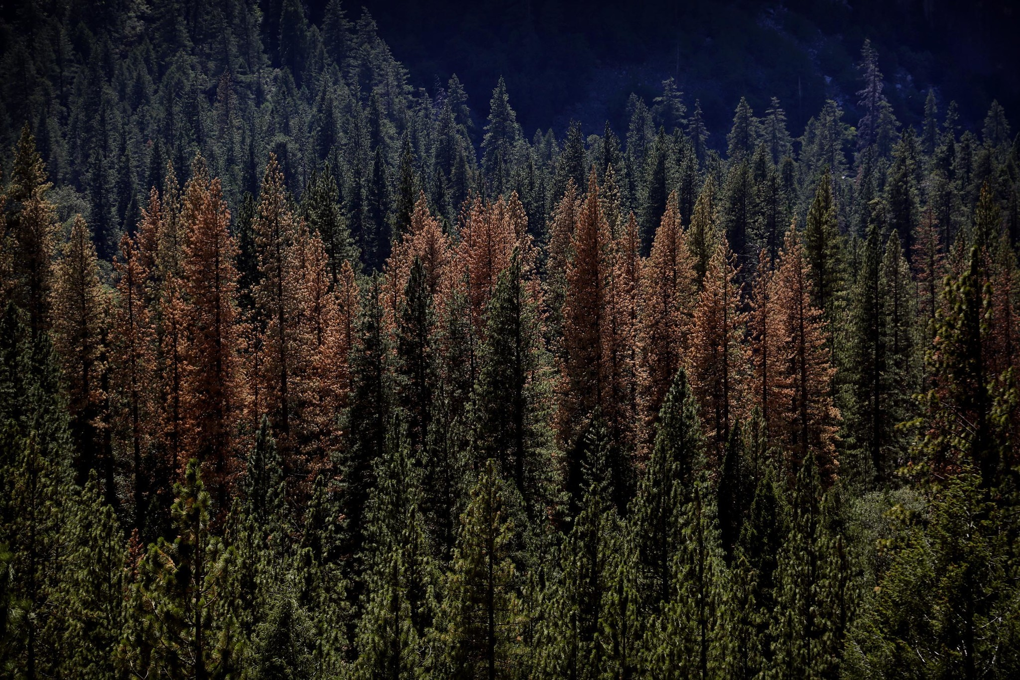 Dying trees can be seen in the Yosemite forest on Aug. 15, 2015.
