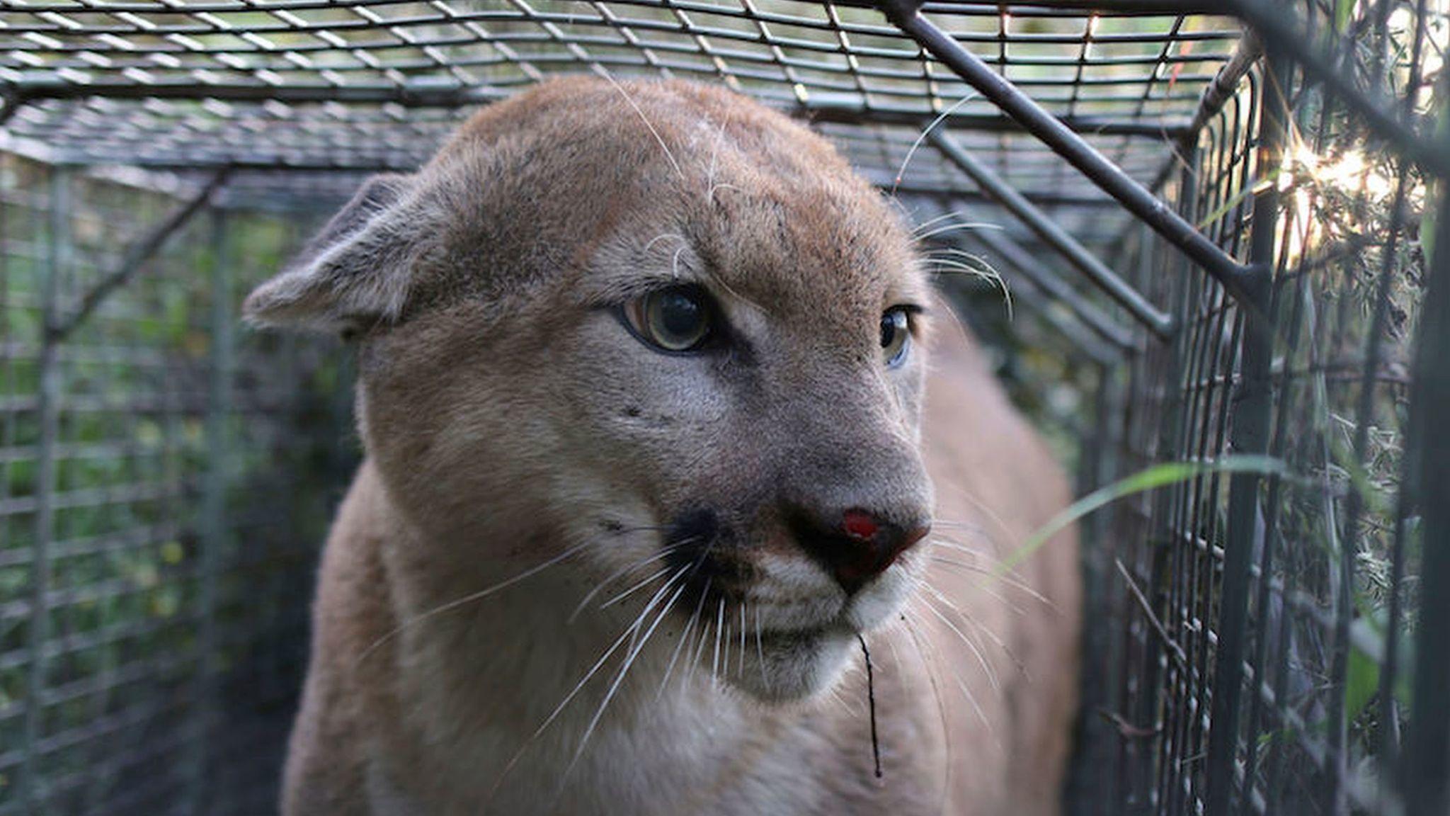 Cougar louisiana