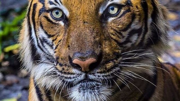 Tiger That Fatally Mauled Zookeeper Dies Following