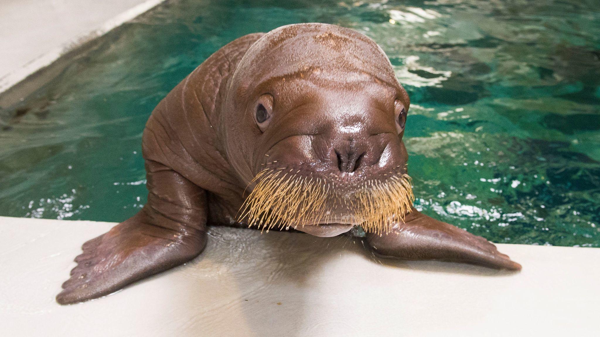seaworld s baby walrus will be called ginger orlando sentinel