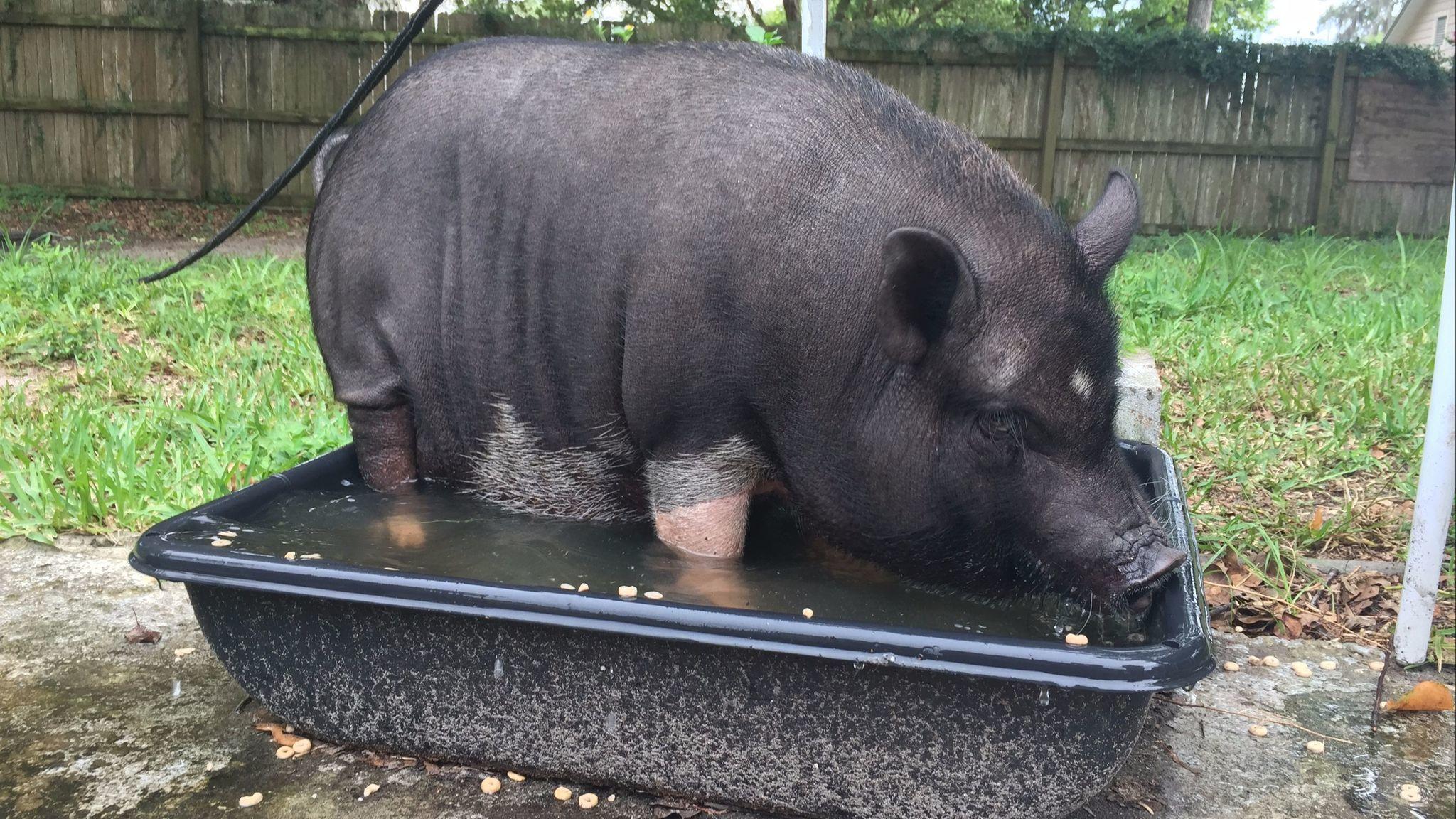 residents push for pet mini pigs in tavares city limits orlando
