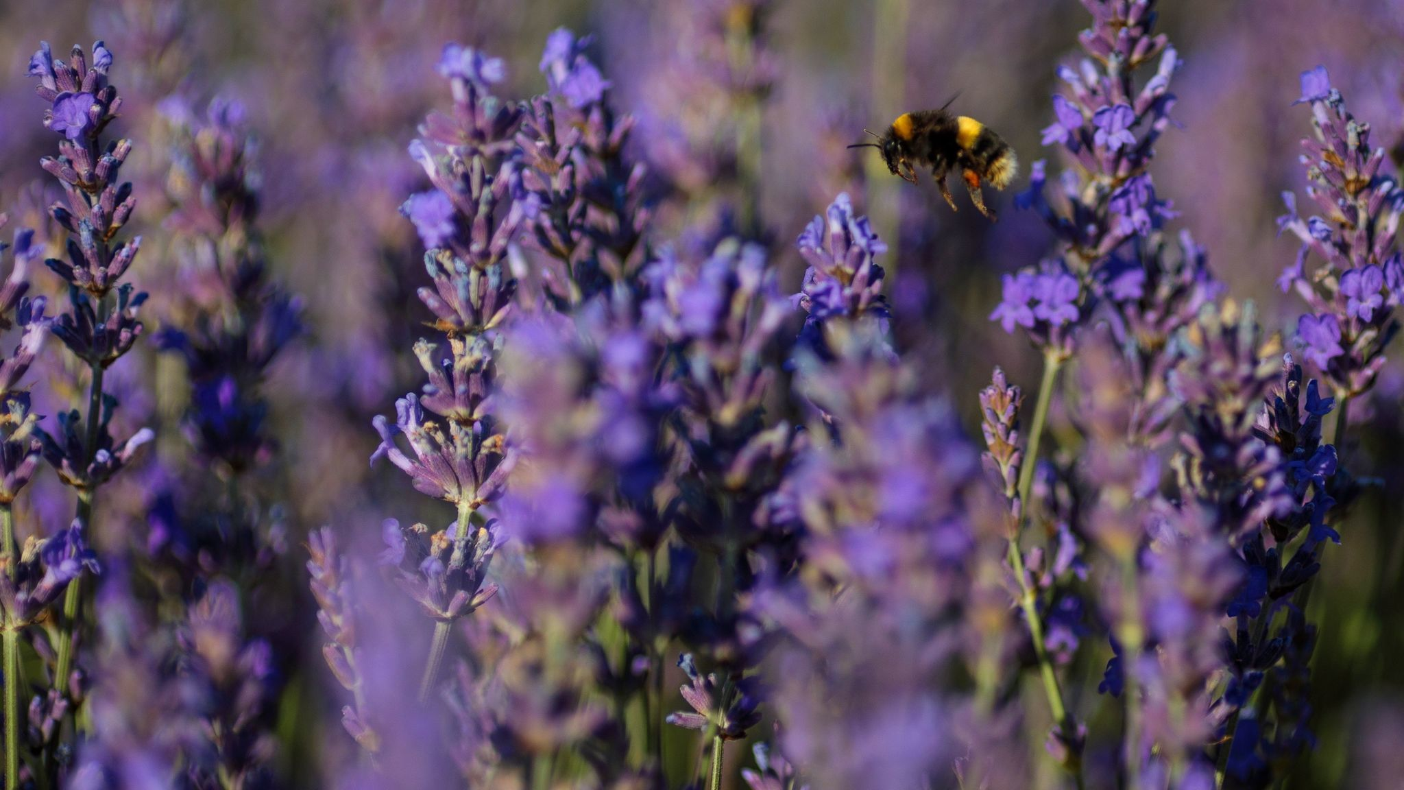 Lavender is a Mediterranean plant that survives long stretches of dry weather.