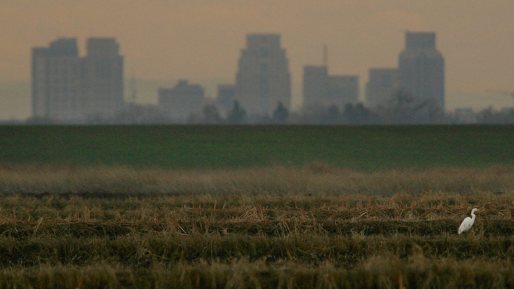 The Sacramento city skyline creates a backdrop for an egret resting in a  rice field in 2005.