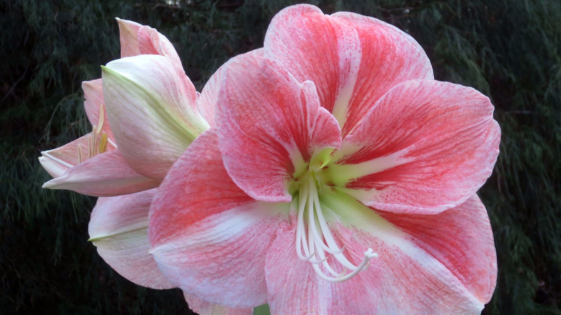 gardening do amaryllis bulbs ever bloom in the summer the