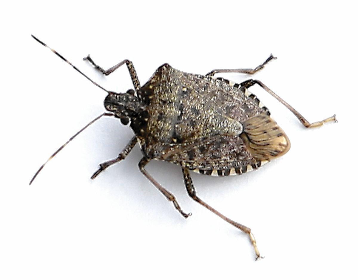if it s autumn it is stink bug season in aurora aurora beacon news