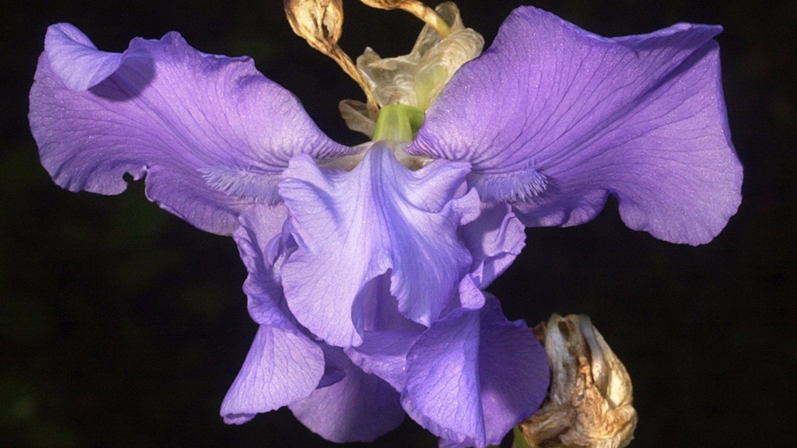 How to Store Iris Bulbs How to Store Iris Bulbs new pictures
