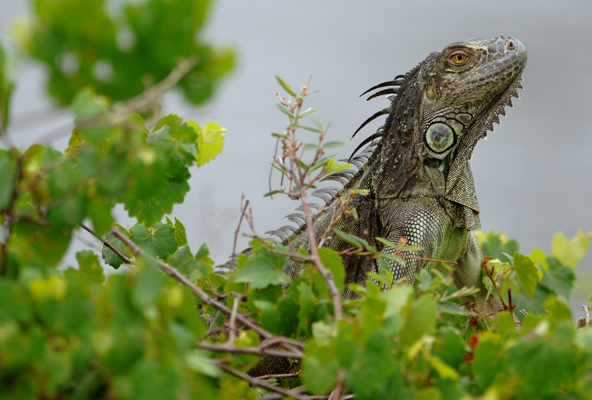 How To Deal With Iguanas As Their Numbers Rise In South Florida