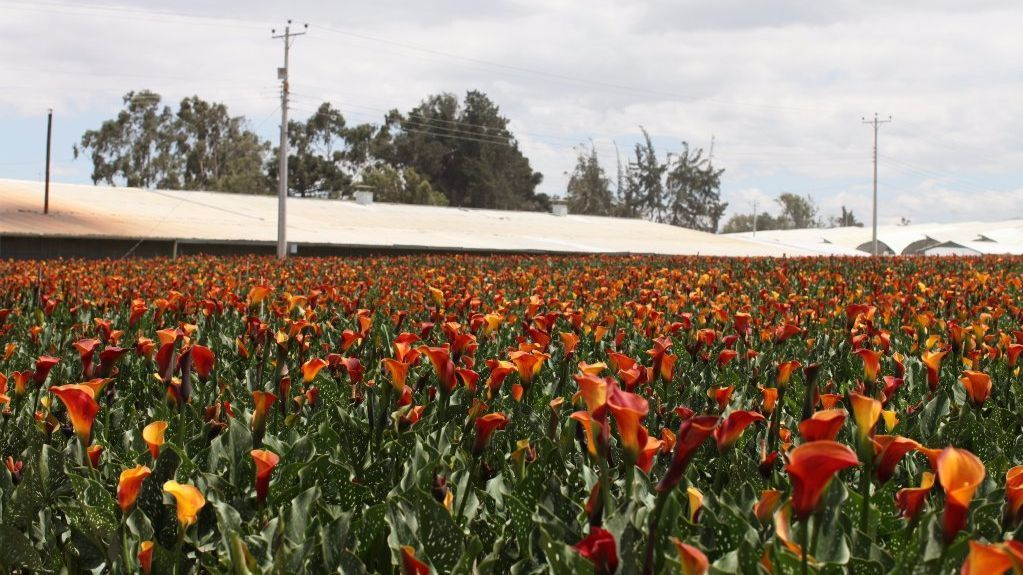 A field of mini calla lillies on a farm in Ecuador that are destined for customers of the Bouqs.