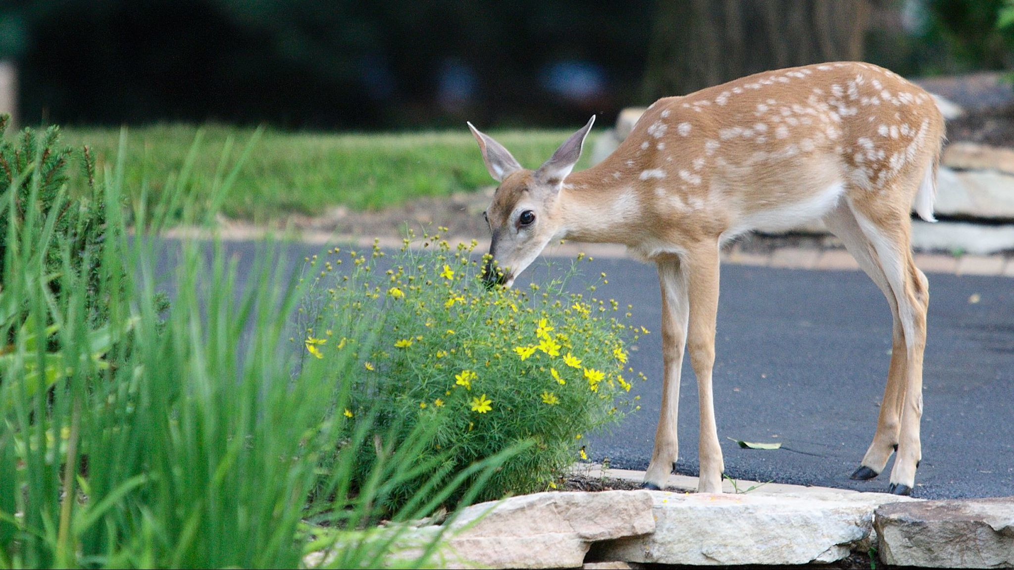 Gardening How To Make Your Own Deer Repellent For The Garden Morning Call