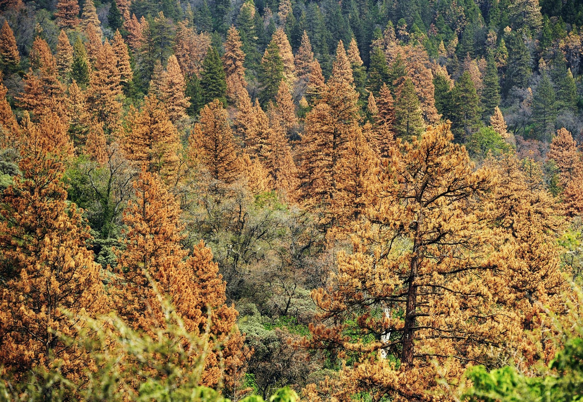 Sierra Nevada pine tree die-off worsens as beetles thrive in drought