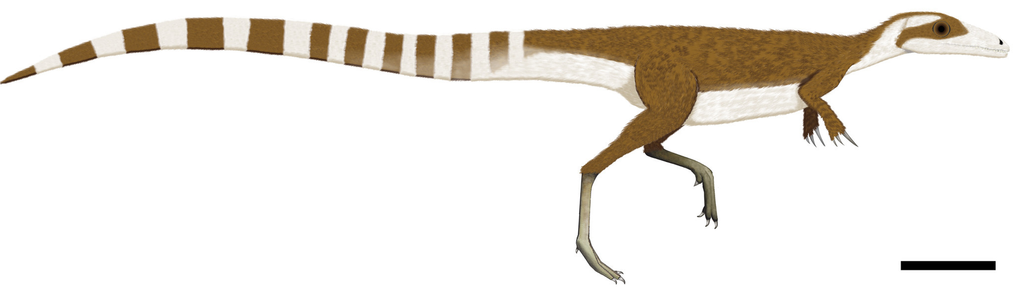 The reconstructed color patterns of Sinosauropteryx, showing its countershaded pattern along with the stripey tail and bandit mask.