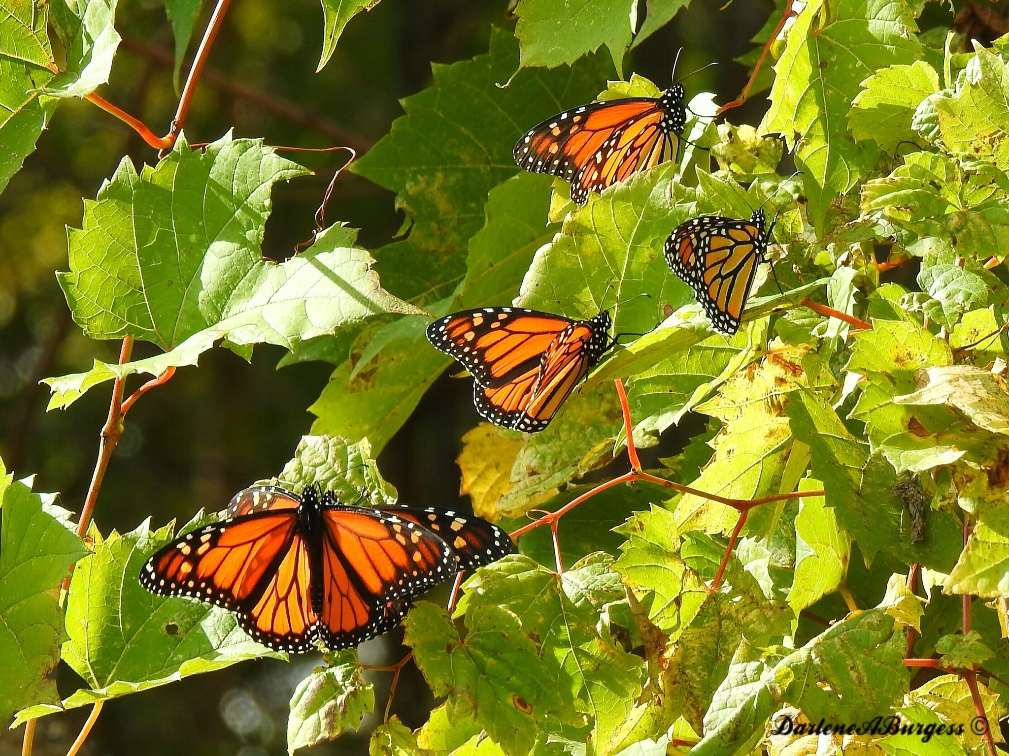 misplaced monarchs clusters of butterflies stuck up north