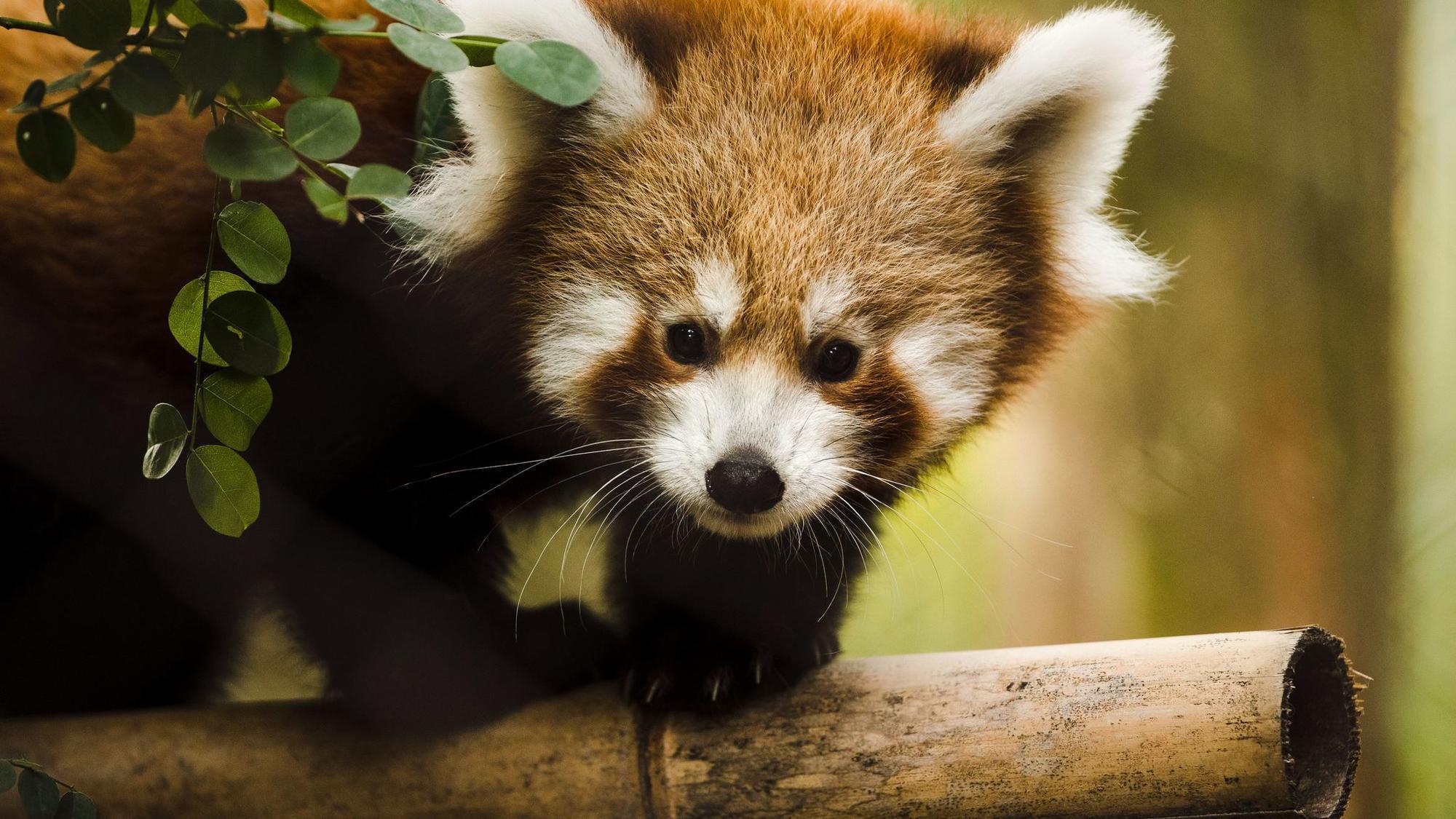 Red Panda Babies Make Debut At Philadelphia Zoo The Morning Call