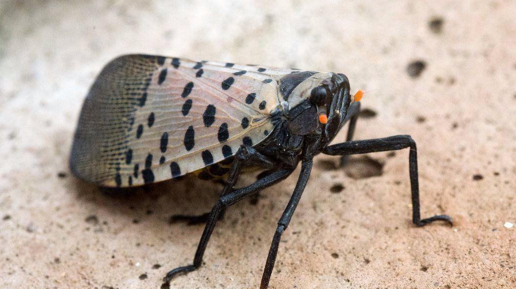 Seven counties added to spotted lanternfly quarantine zone ...