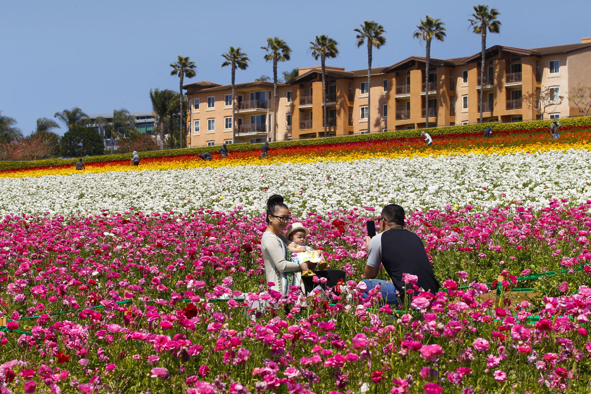 7 Things You Need To Know About The Flower Fields In Carlsbad Pacific San Go