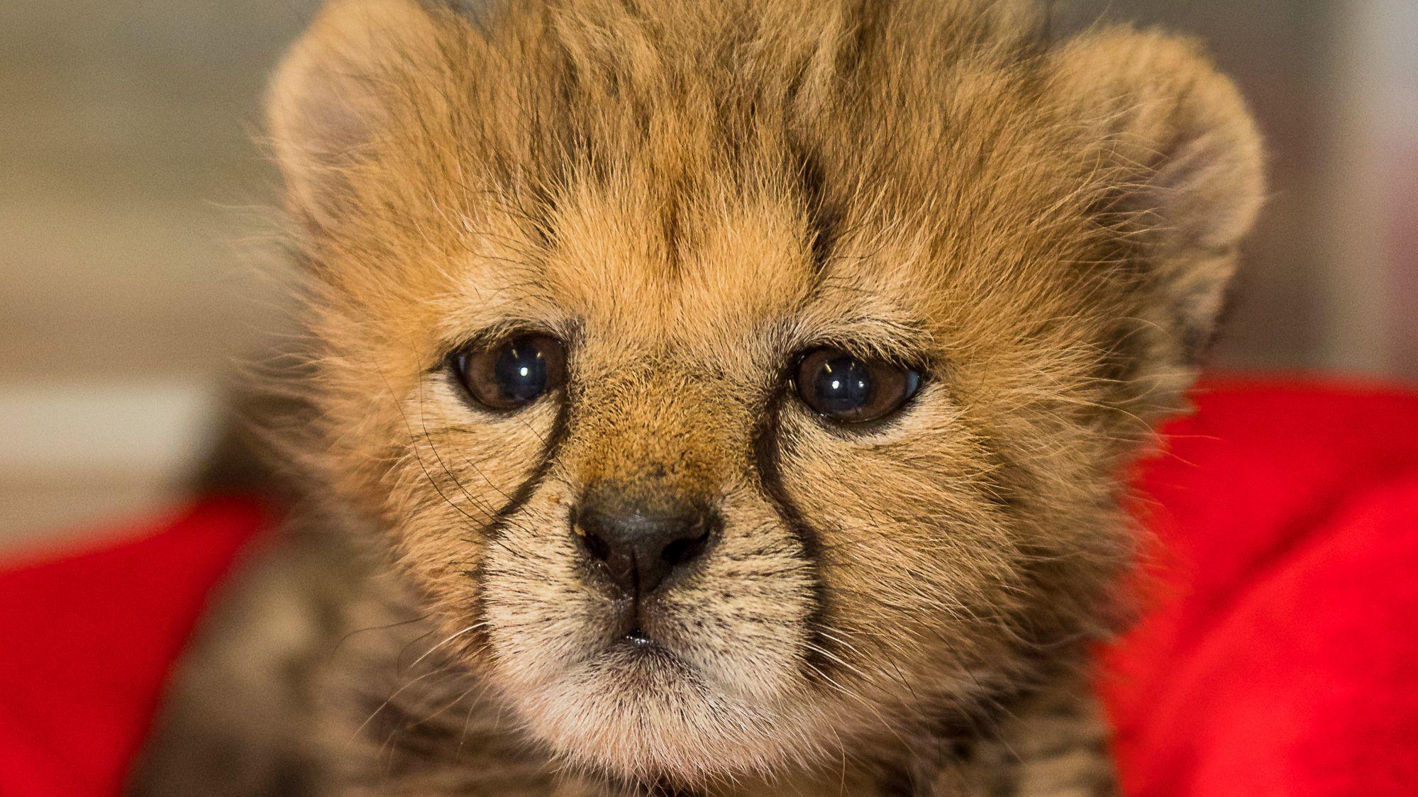 Cheetah Cub Brings New Energy To San Diego Zoo The San