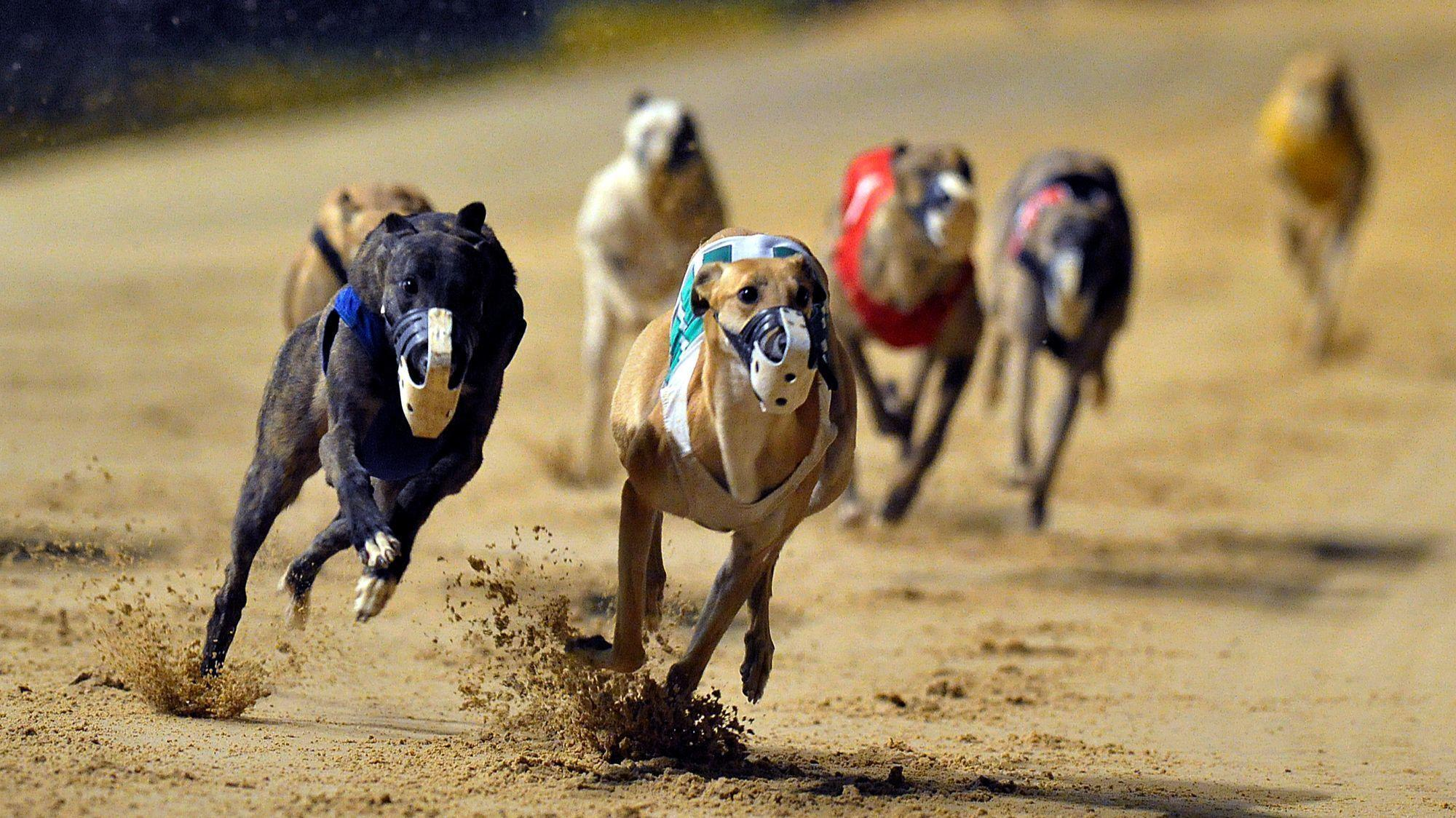 Let Voters Be Heard On Deadly Dog Races Editorial Sun