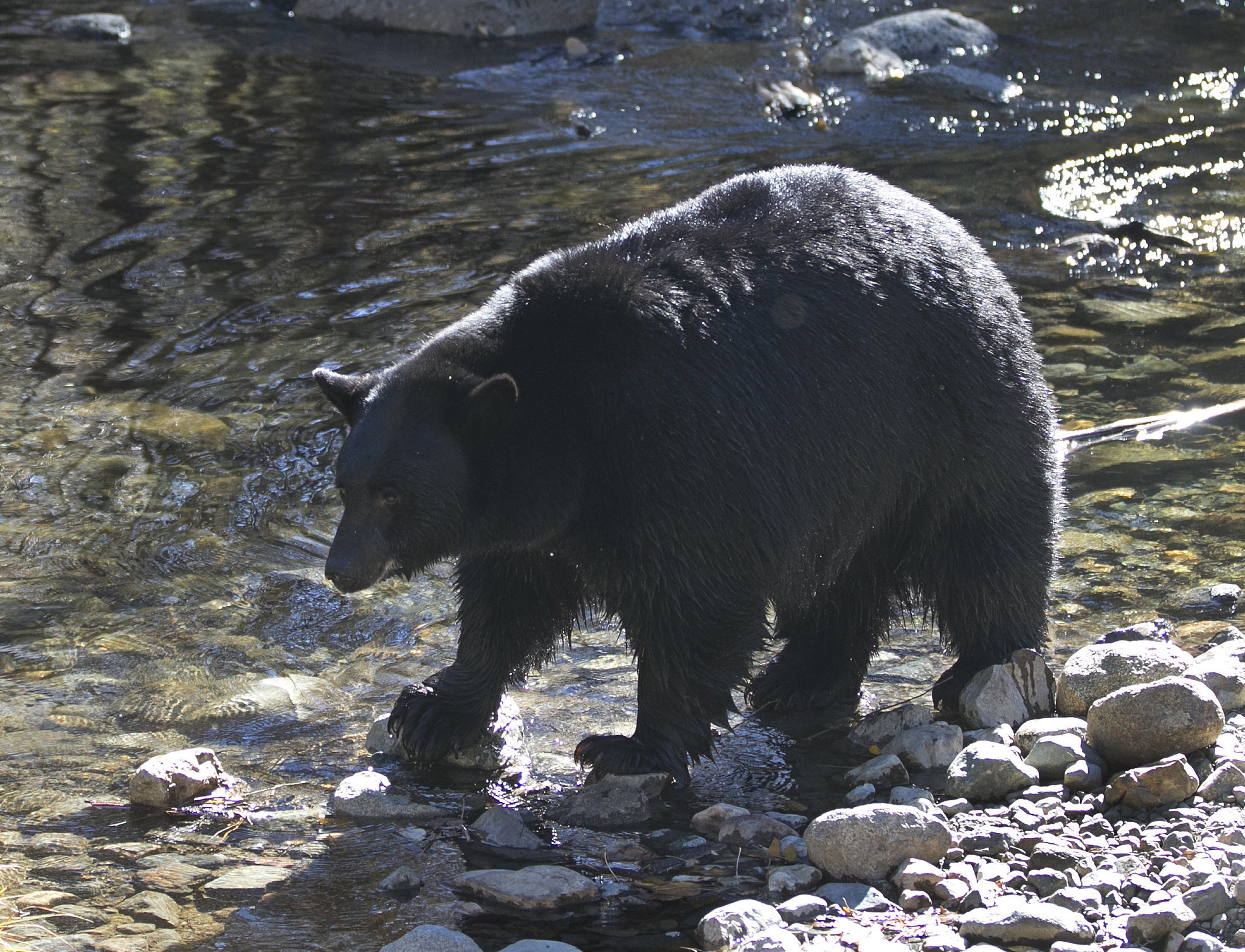Black bears back in eastern Nevada after 80-year absence ...