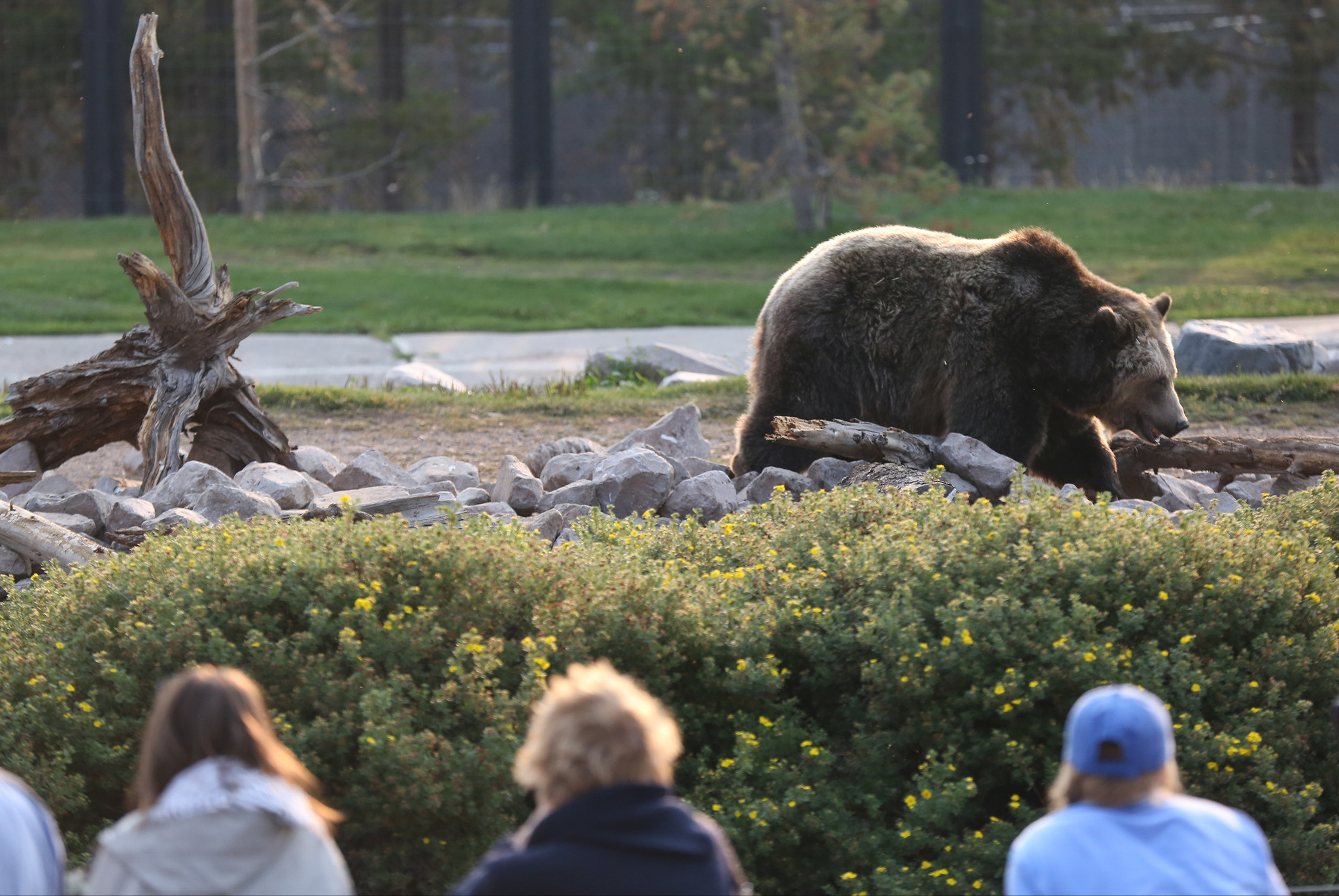 Grizzly bears are back from the brink, but resurgence ...