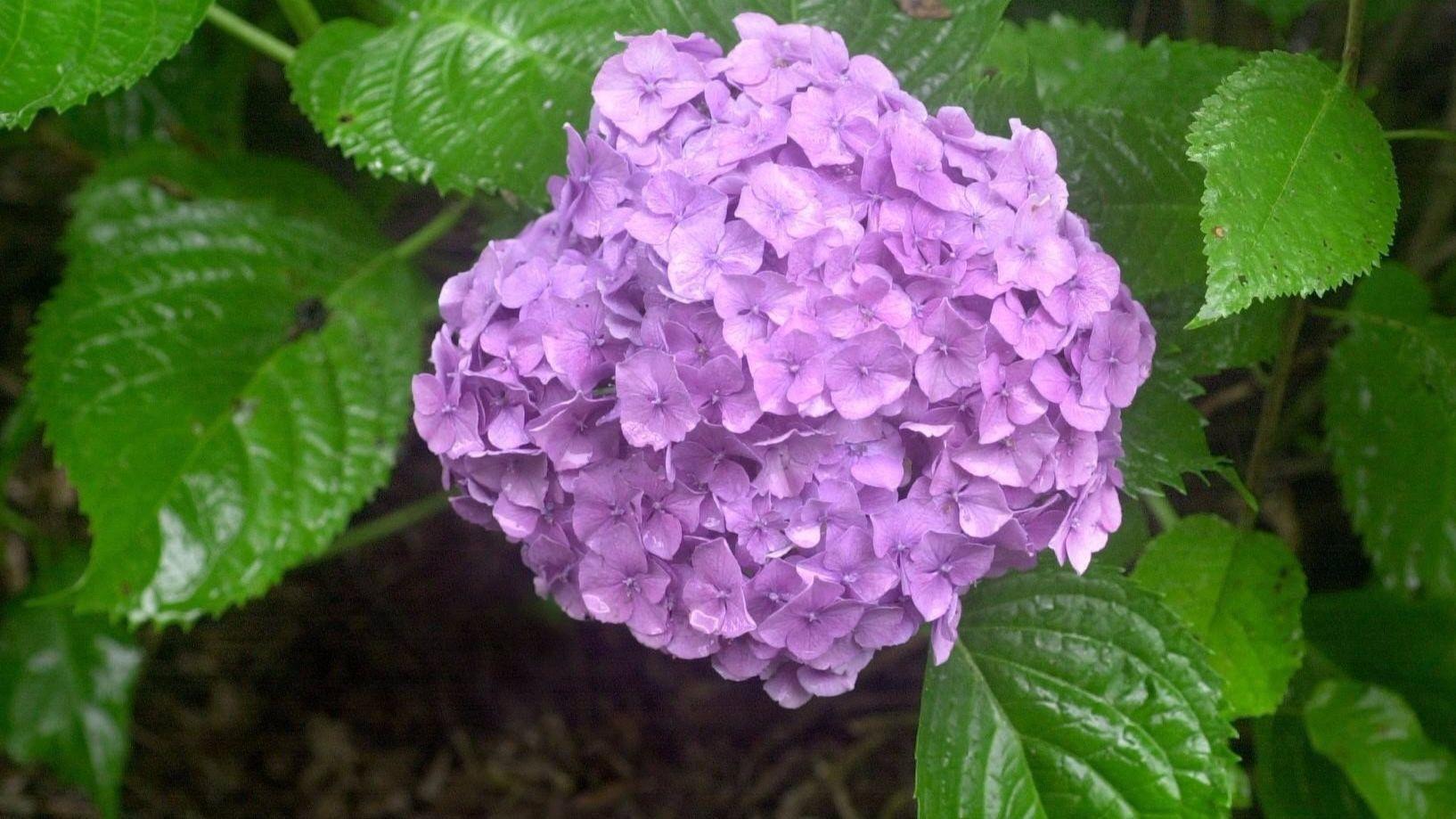 Gardening Should You Prune Hydrangea Plants In The Fall