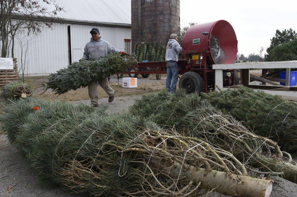 Cut-your-own Christmas Tree Farms Grow Tradition, Holiday