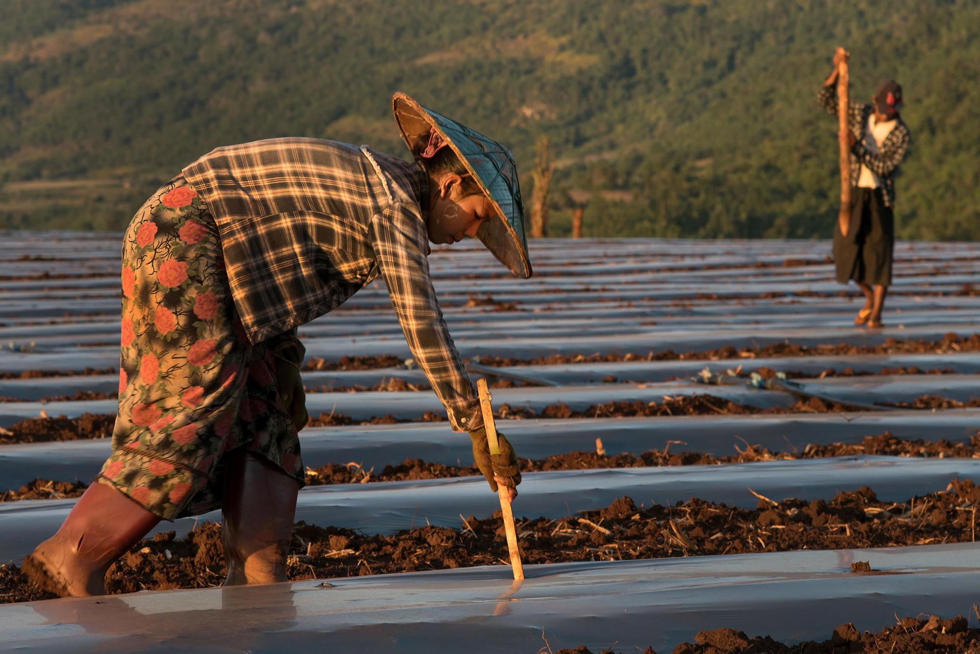 Laborers work in a melon plantation