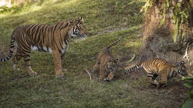 disney animal kingdom s baby tigers make their debut orlando sentinel