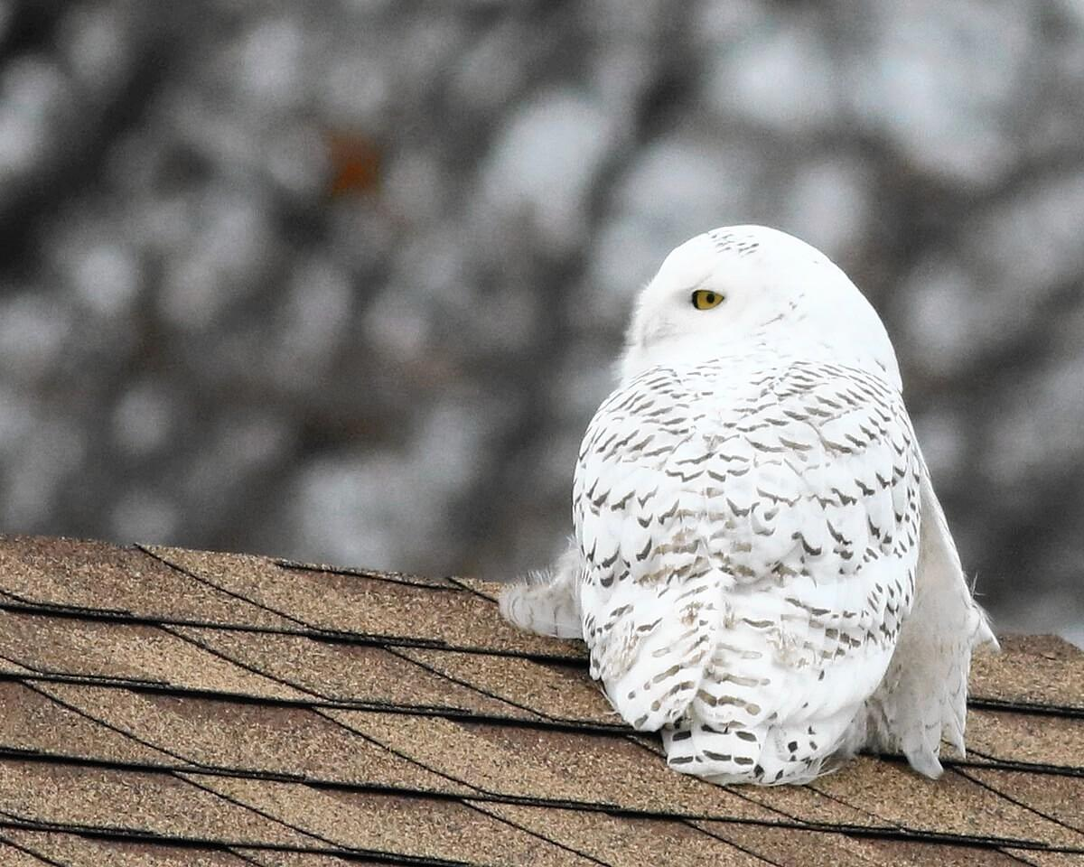Snowy Owl Sightings On The Rise Especially Along Great Lakes