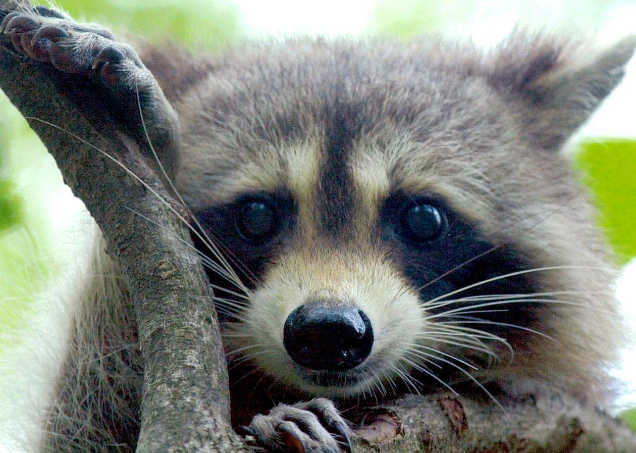 It S Winter Watch Out For Falling Raccoons Chicago Tribune