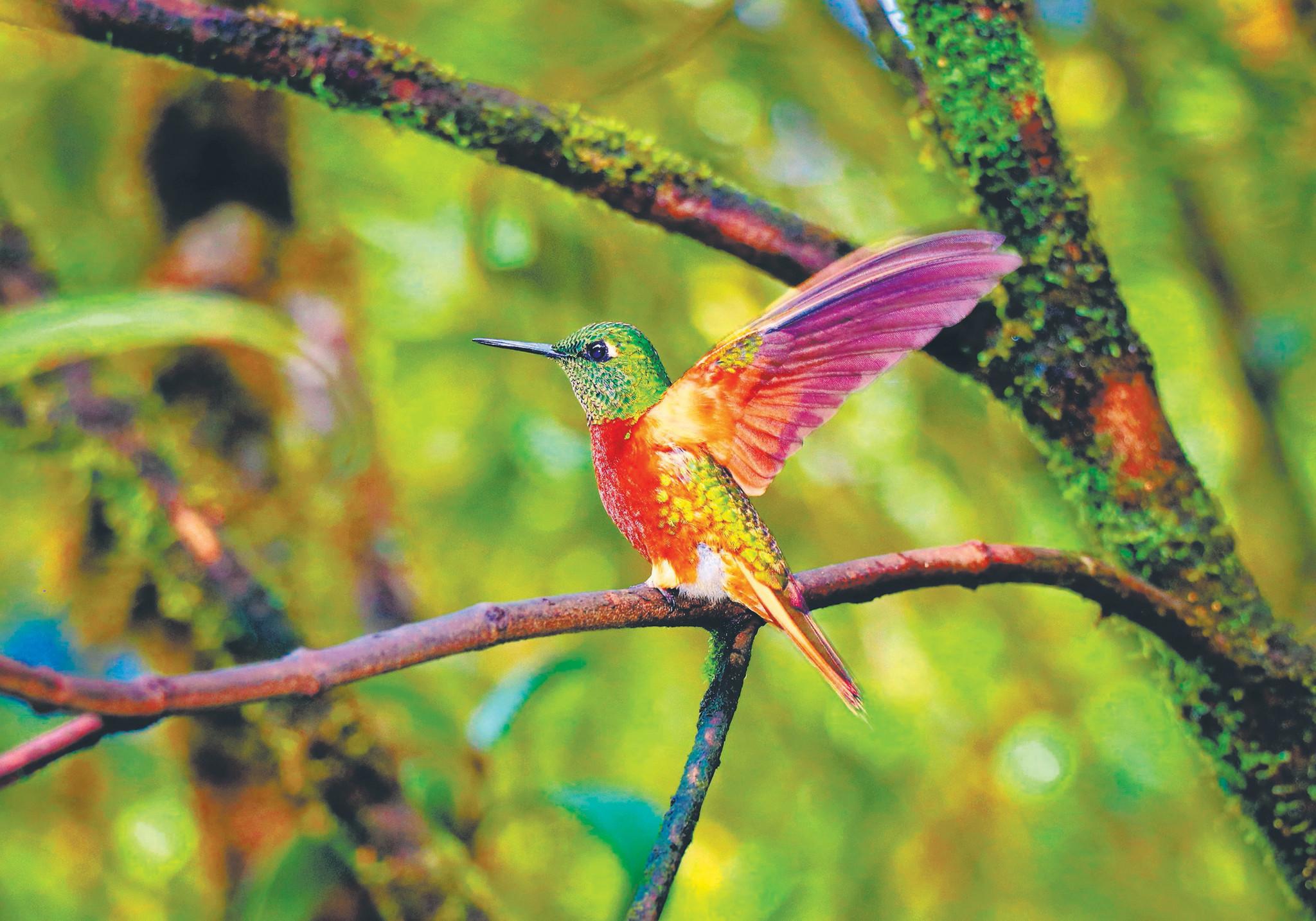 ecuador is a birdwatcher�s paradise chicago tribune