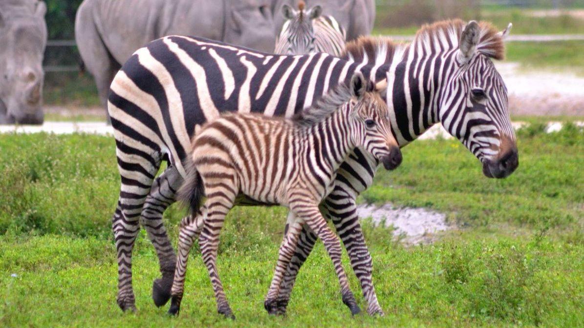 new zebra foal debuts at lion country safari sun sentinel