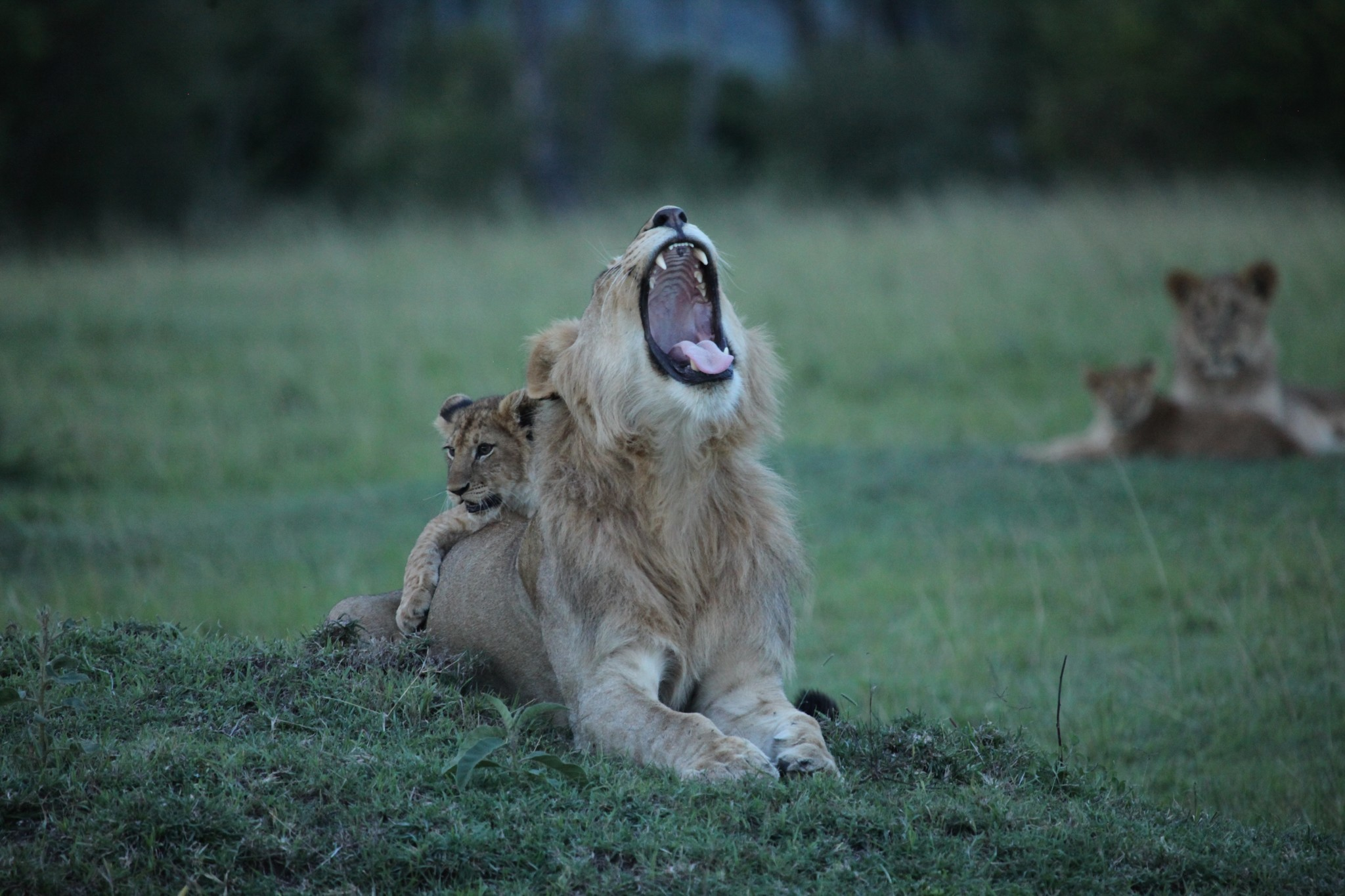 Lions in Maasai Mara National Reserve