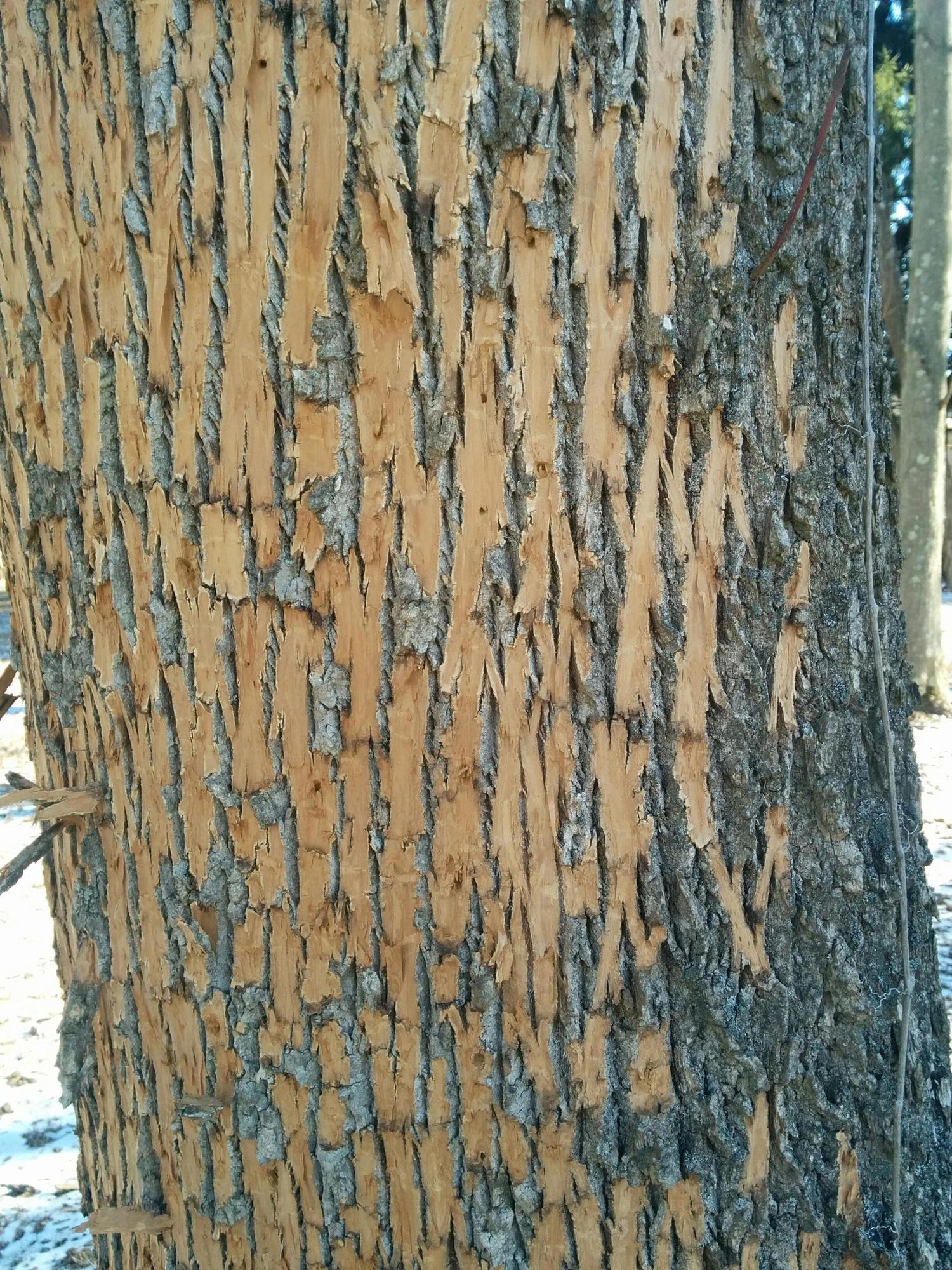 Peeling Bark Is Sign Of Emerald Ash Borer Baltimore Sun