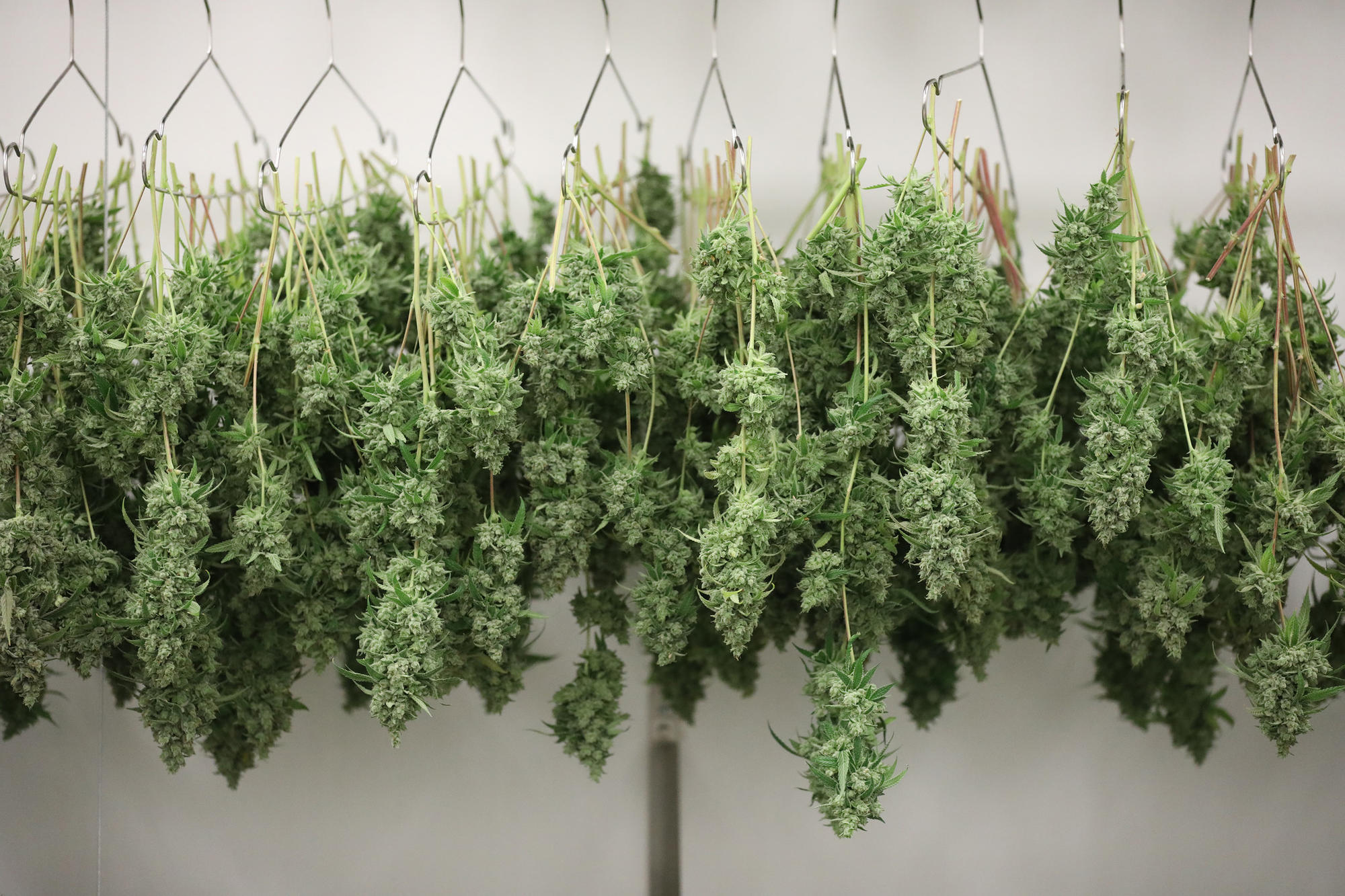 Judge orders Illinois to expand medical marijuana qualifying conditions to include pain ...