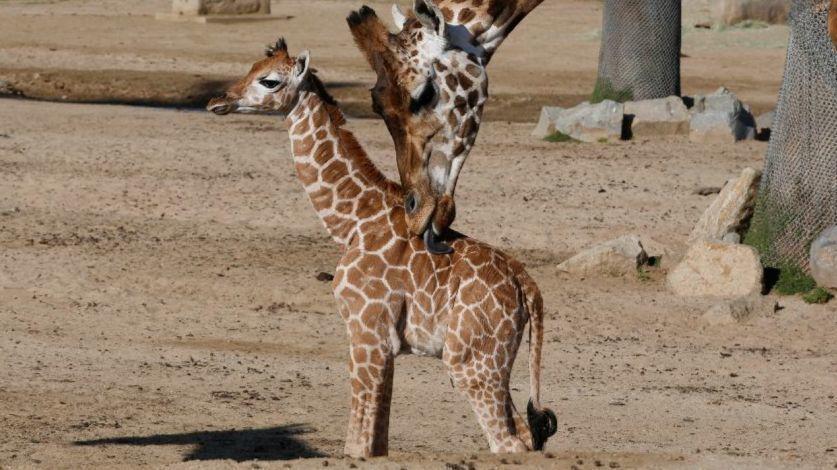 A Baboons But Giraffophiles rejoice:...