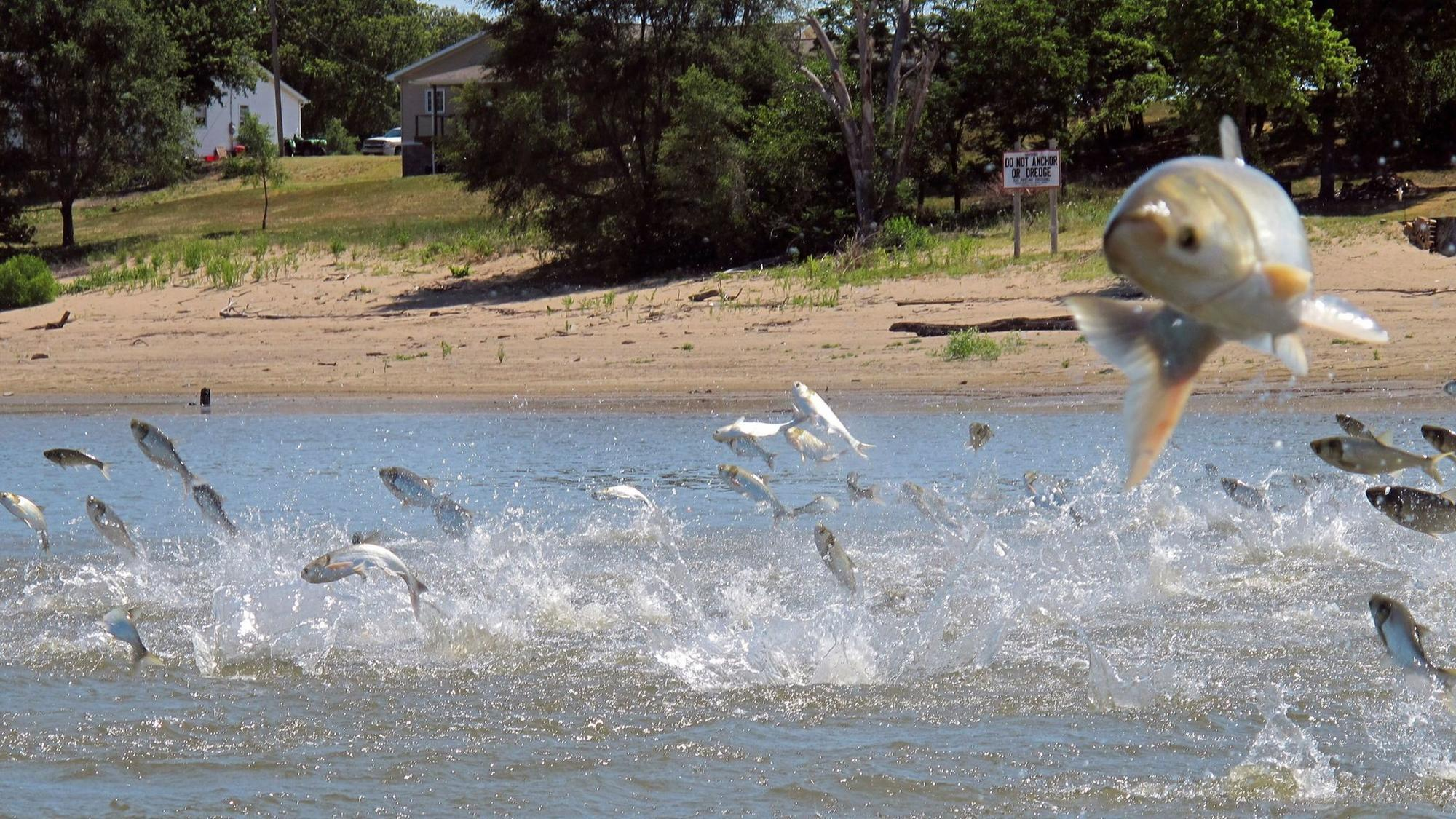 asian carp could big illinois' next big cash crop