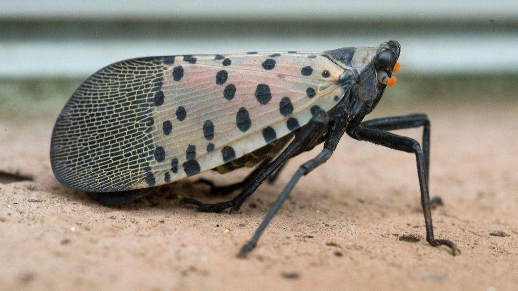 USDA declares war on spotted lanternfly, will spend $17.5M ...