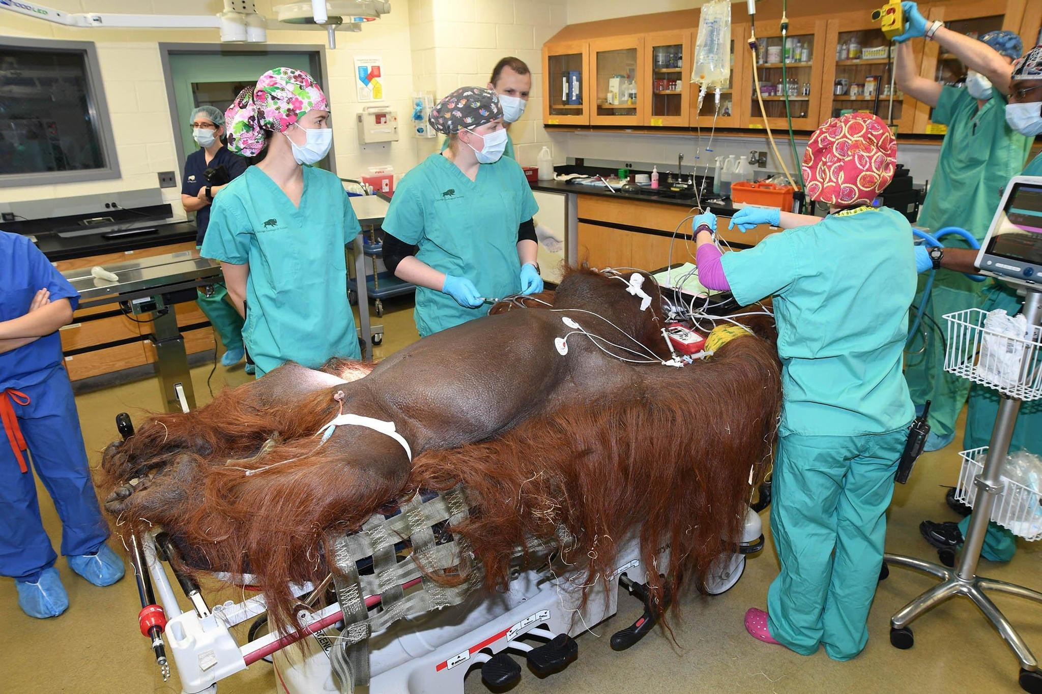 Brookfield Zoo orangutan recovering after appendectomy by ...