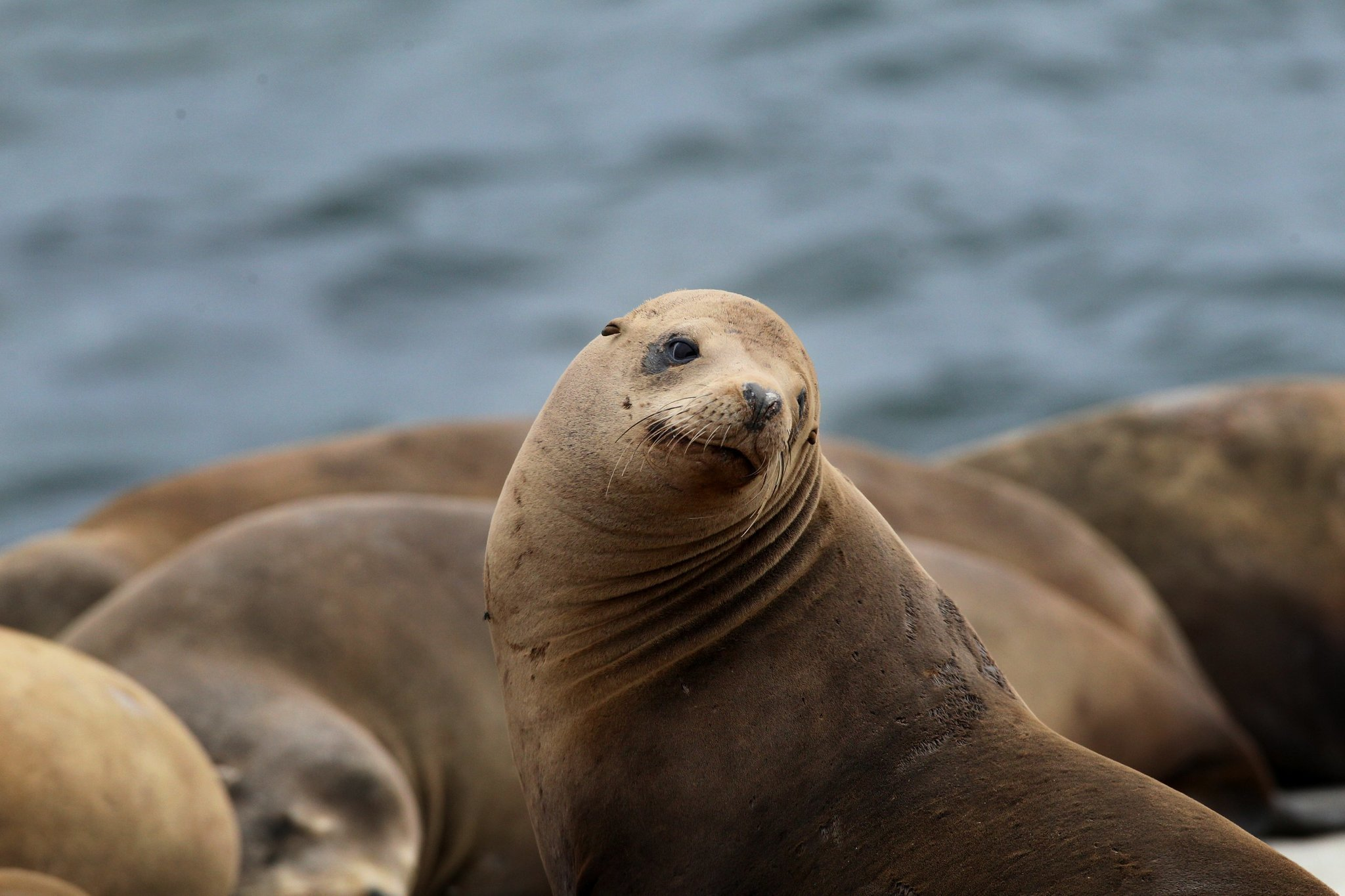 California sea lions have made a magnificent comeback, and ...
