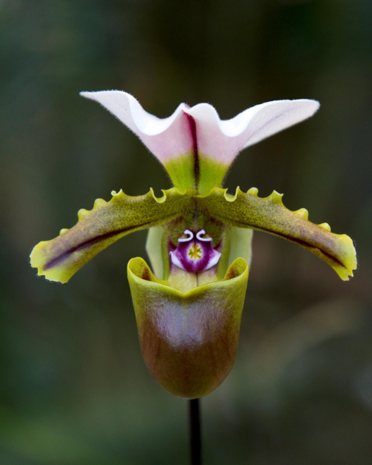 slipper flower Paph. spicerianum