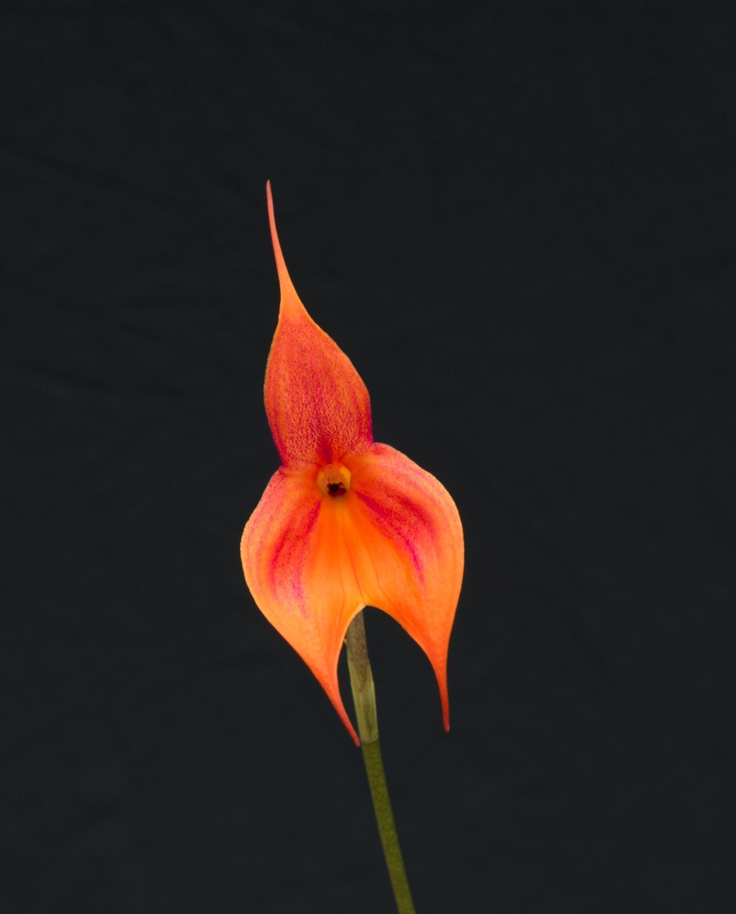 orange-red Masdevallia veitchiana