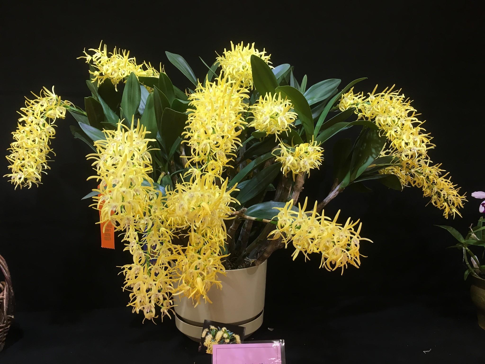 yellow Dendrobium speciosum