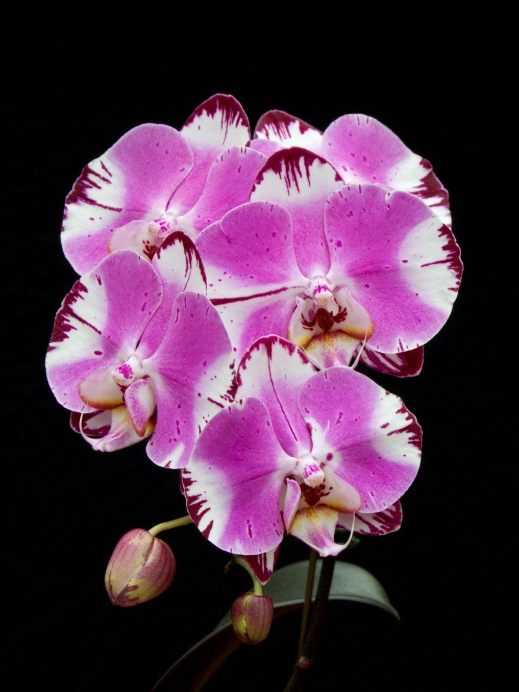pink and white Phalaenopsis
